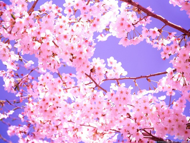 2560 x 1920-7819-cherry-blossom.jpg
